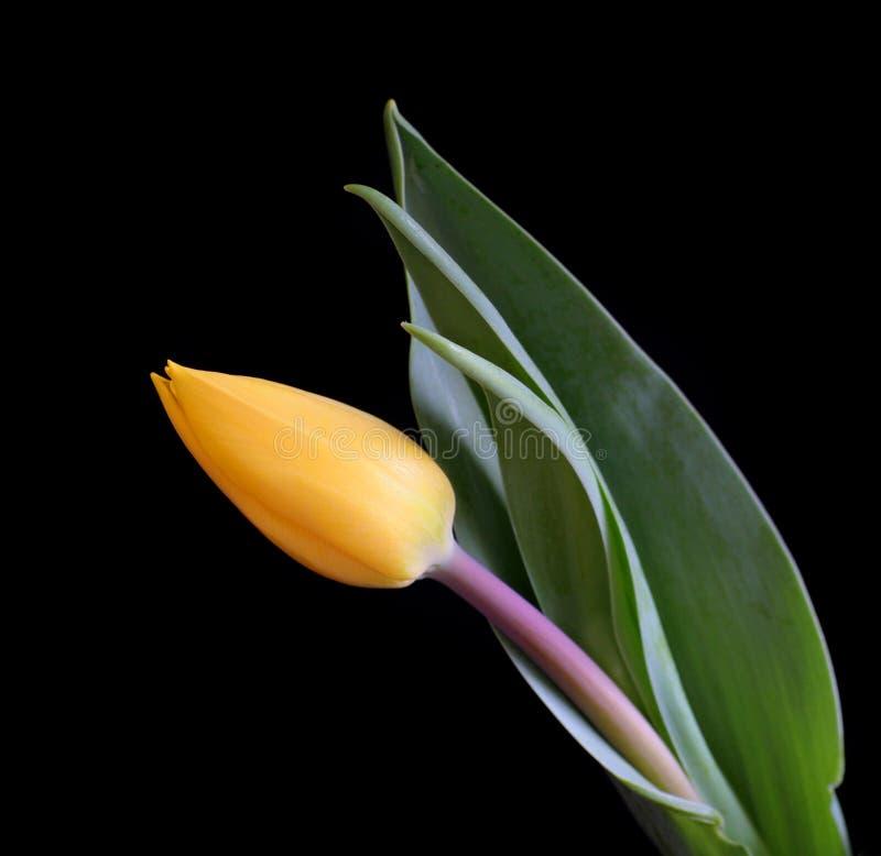 Download Tulipe image stock. Image du fleuriste, agencement, surprise - 726819