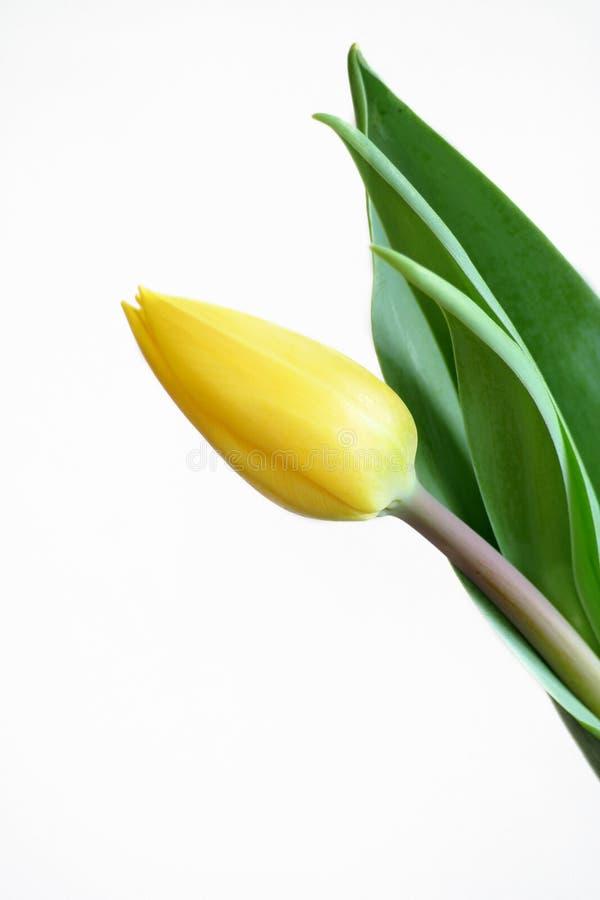 Download Tulipe image stock. Image du été, lumineux, fleuriste, groupe - 726821