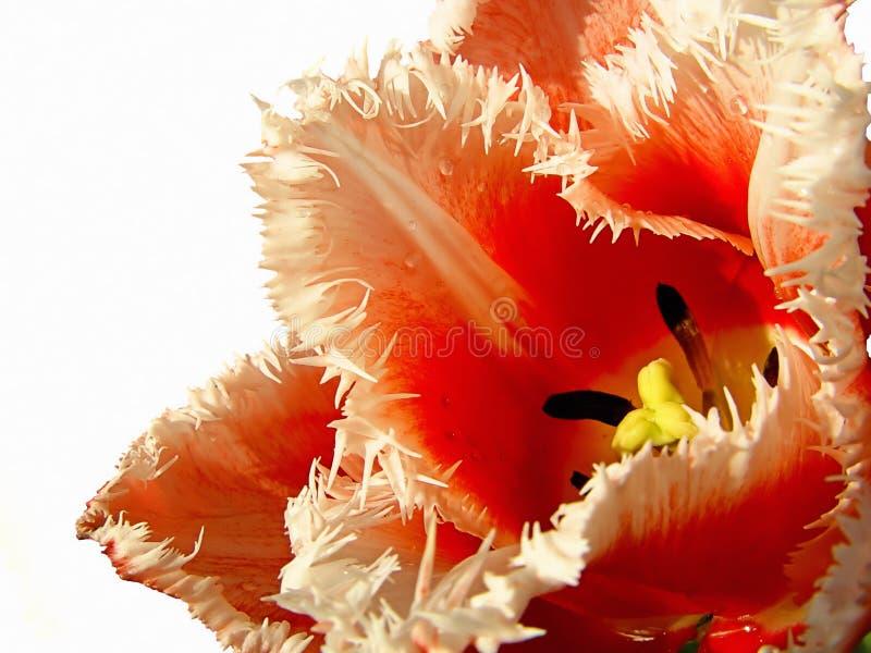 Download Tulipe photo stock. Image du fleur, partly, macro, couleur - 744540
