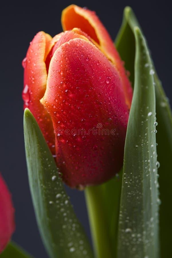 Download Tulipe image stock. Image du pétales, cuvette, coloré - 8669049