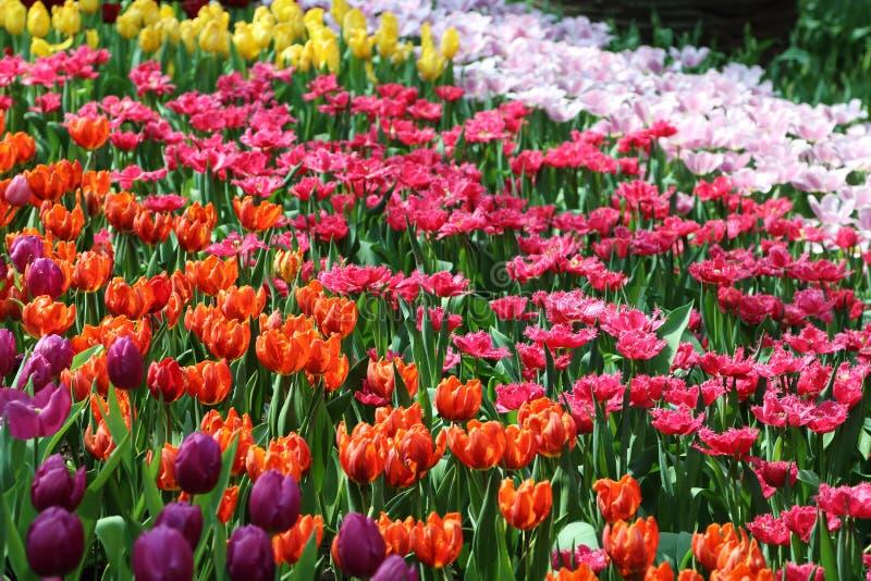 Tulipe 18 photos stock