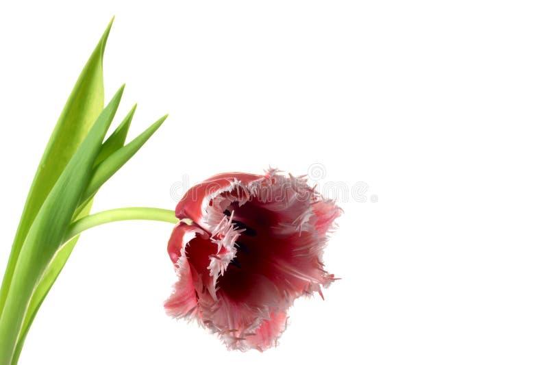 tulipe Blanc-rouge photos stock