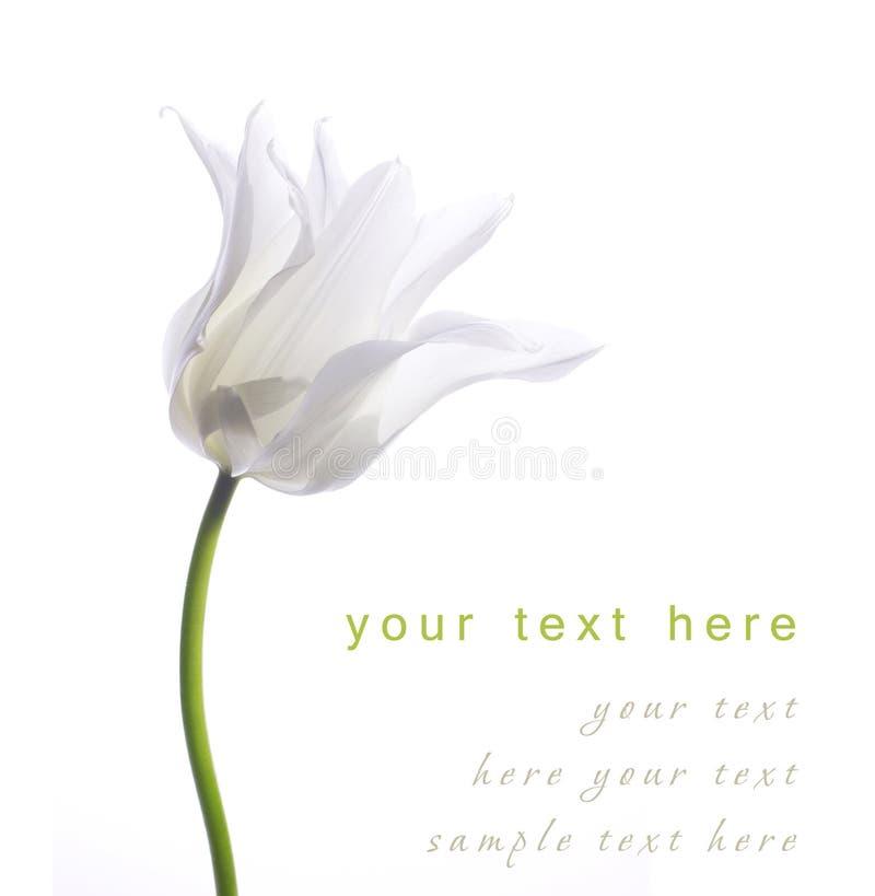Tulipe blanche photo stock