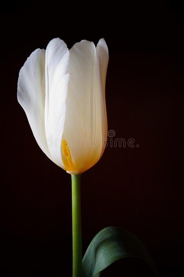 Tulipe blanche images libres de droits