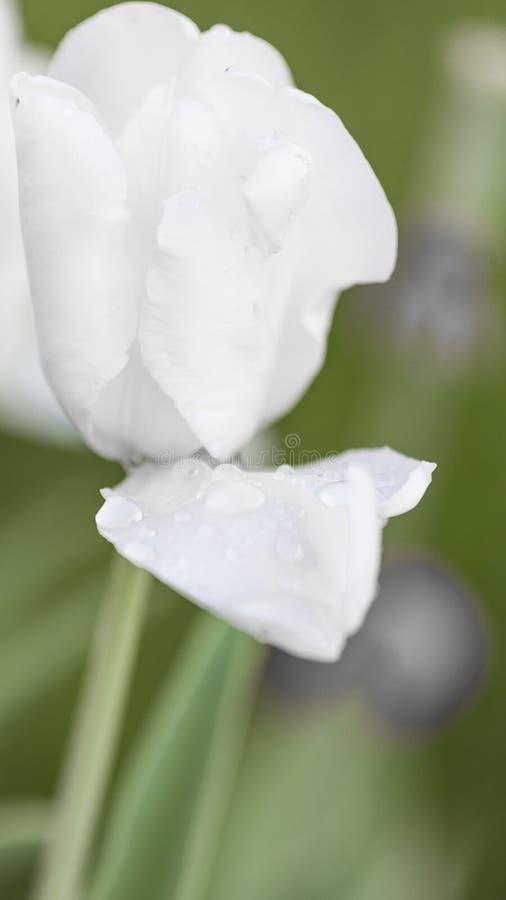 Tulipe blanche après pluie photographie stock libre de droits