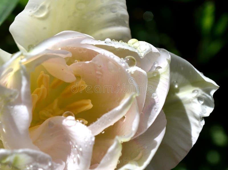 Tulipe blanche avec des baisses de pluie photo stock