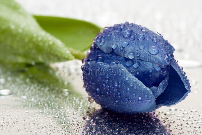 Tulipe bleue avec des baisses de l'eau photo libre de droits