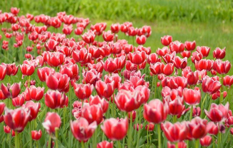 Tulipe Clairière rouge fraîche de tulipes Champ avec les tulipes rouges Fond rouge de tulipes Groupe de tulipes rouges en parc Re image stock