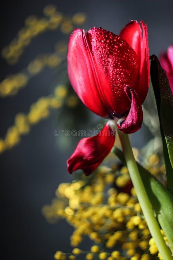 Tulipe colorée image stock