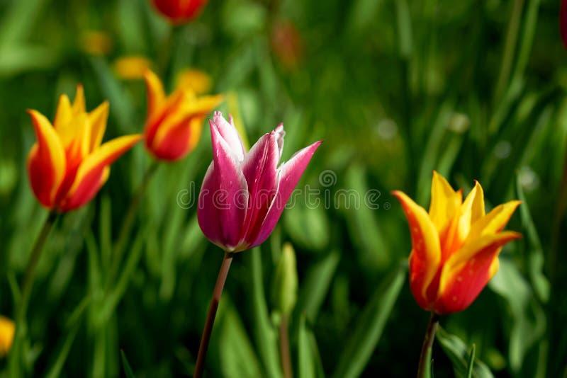 Tulipe colorée lumineuse image libre de droits