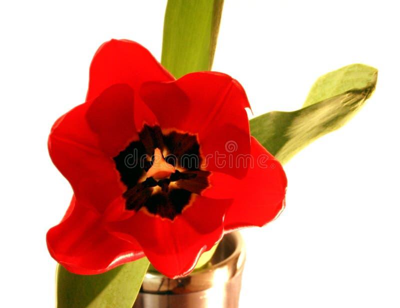 Download Tulipe d'isolement photo stock. Image du chaud, inoxidable - 74468