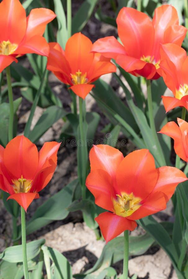 Tulipe d'Orange Fleur Nature Jardin Flore photographie stock libre de droits