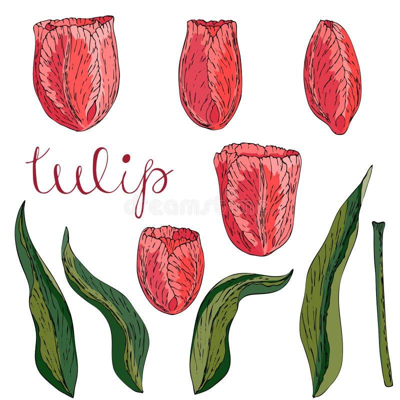 Tulipe de corail d'isolement par vecteur sur le blanc illustration libre de droits