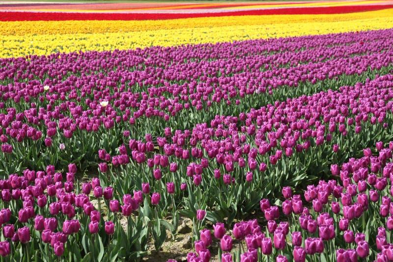Tulipe de fleur photos libres de droits