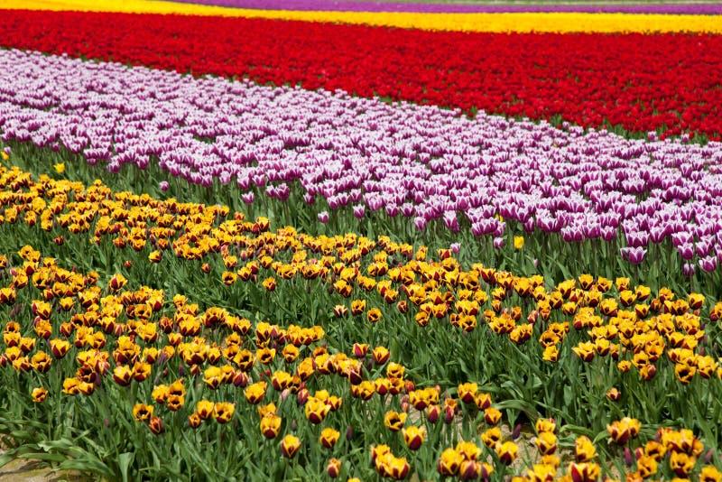 Tulipe de fleur image stock