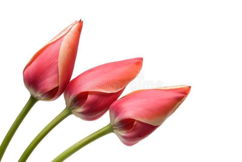 Tulipe de fleur de couleur rouge photo stock