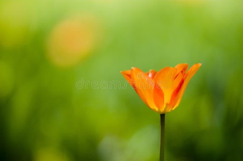 Tulipe de floraison photographie stock