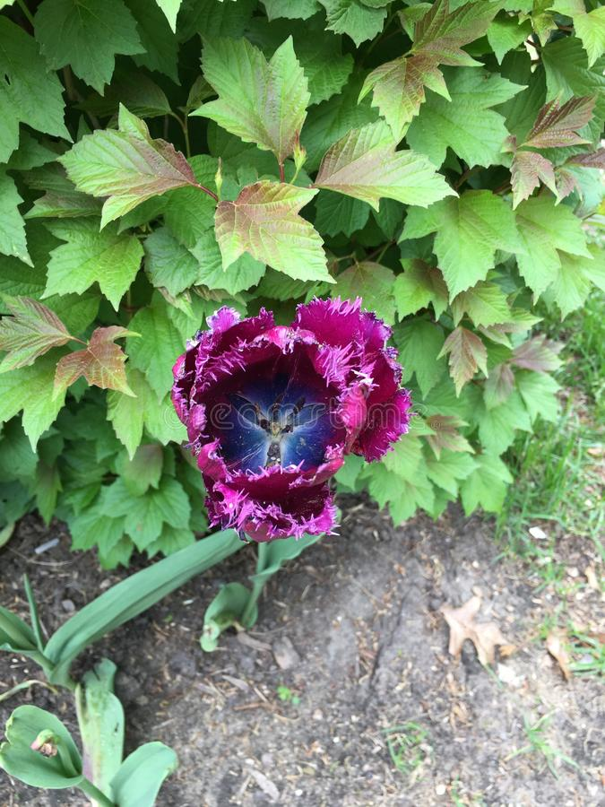 Tulipe de frange de rose de Fuschia photo stock