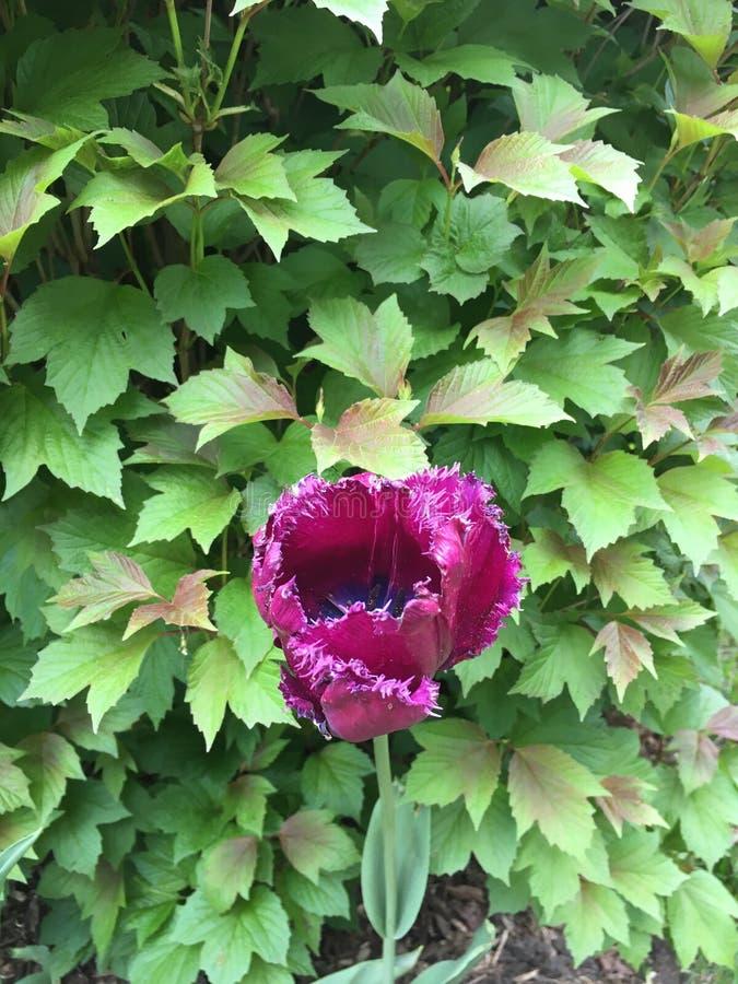 Tulipe de frange de rose de Fuschia images libres de droits
