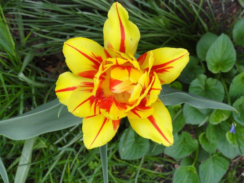 Tulipe de Monsella images stock