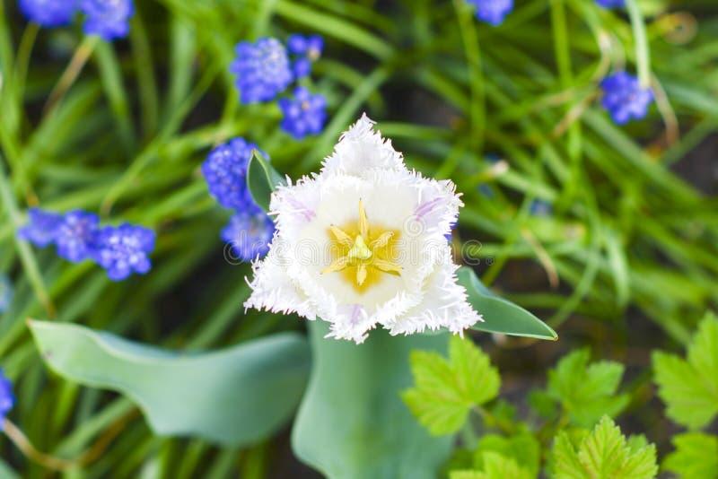Tulipe de Papagayo fleurissant dans le jardin avec d'autres fleurs, ressort photographie stock libre de droits