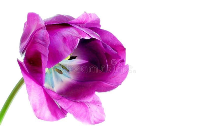 Download Tulipe de ressort image stock. Image du caché, mauve, tulipe - 737347