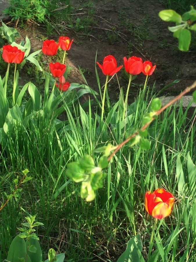 Tulipe de rouge de е de ‹du ½ Ñ du  Ð du ½ ÐºÑ€Ð°Ñ du ¿ аРde ьРde ТюР» photographie stock libre de droits