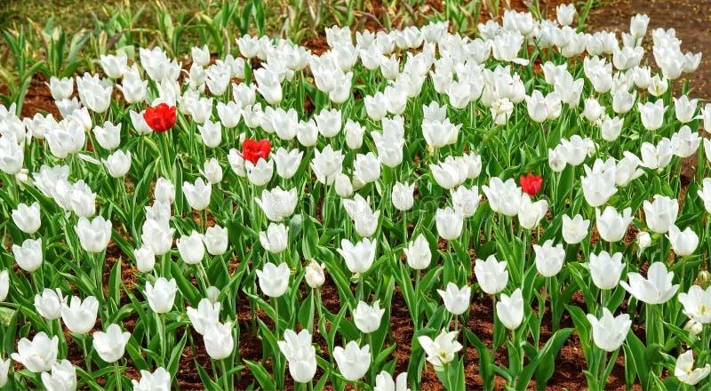 Tulipe de trois rouges en mer des tulipes blanches photographie stock