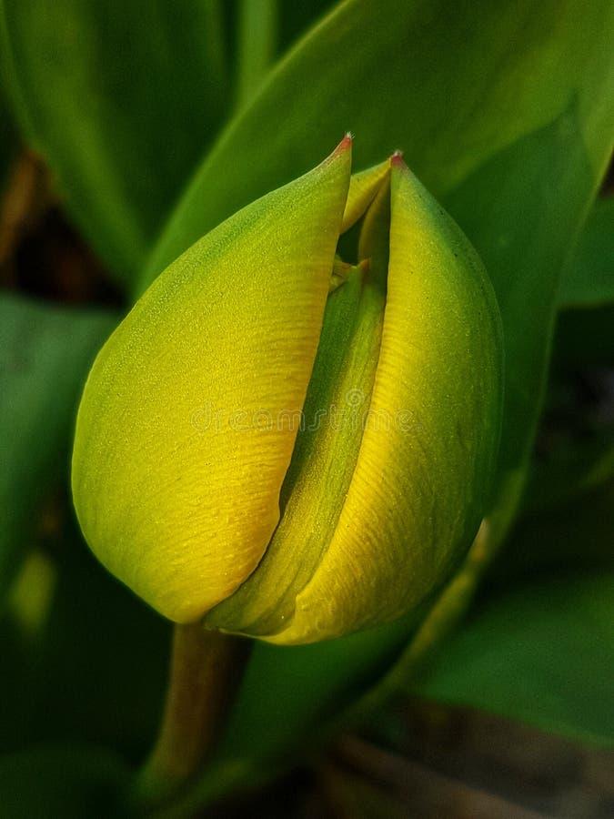 Tulipe et fond vert image stock