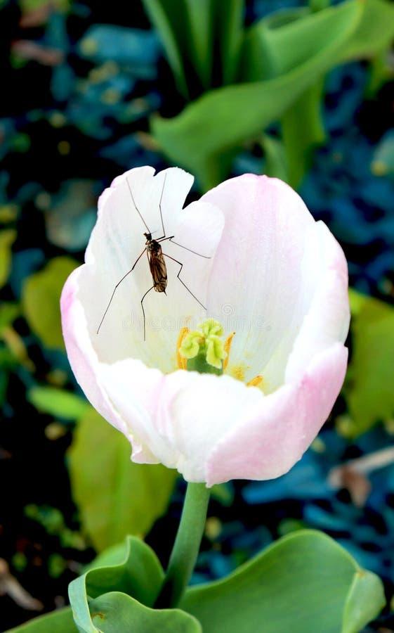 Tulipe et insecte images libres de droits