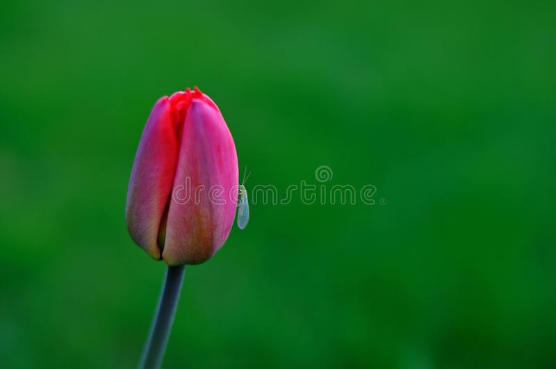 Tulipe et insecte rouges là-dessus, fond vert photographie stock