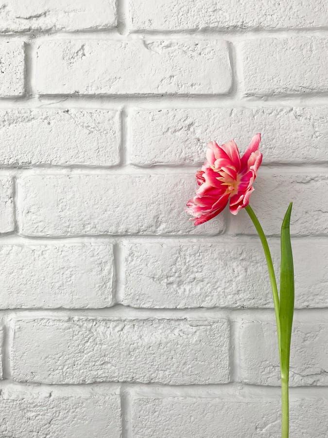 Tulipe fraîche rouge et rose simple des Pays-Bas sur le fond de table de marbre blanc et gris, vue supérieure images libres de droits