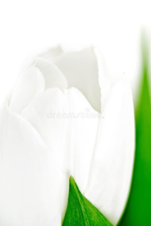 Tulipe, instruction-macro photos libres de droits