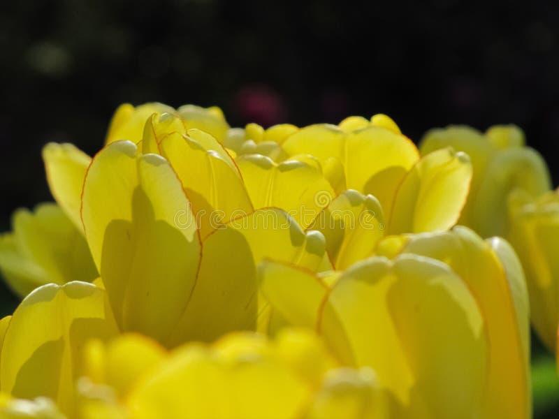 Tulipe jaune d'isolement avec la jante rouge images libres de droits