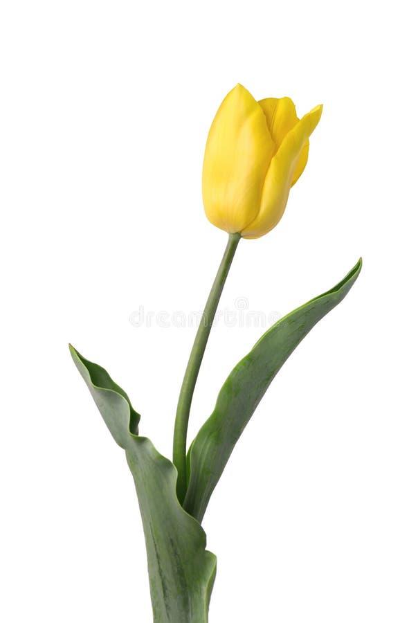 Tulipe jaune d'isolement sur le fond blanc Fleur de source photos stock