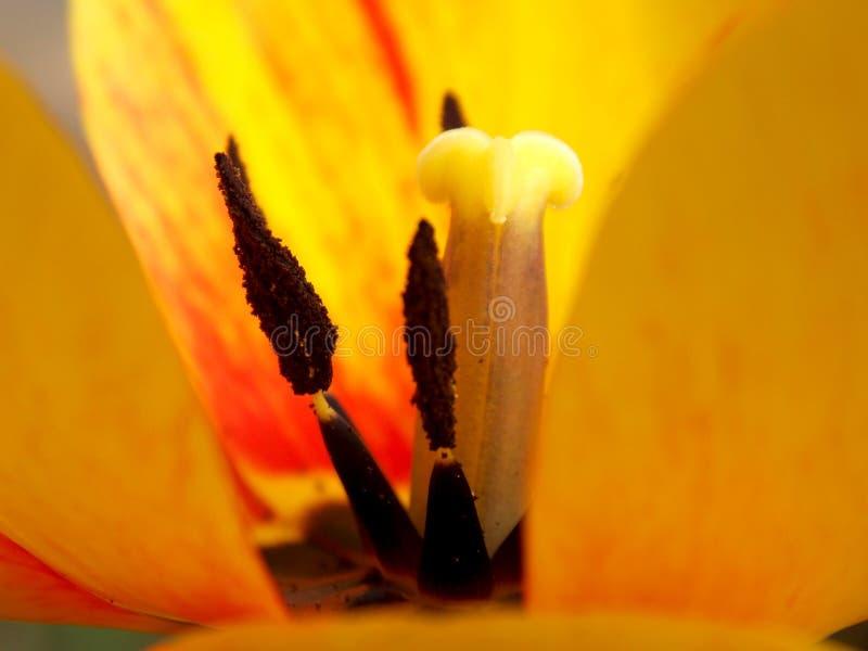 Tulipe jaune de fleur images stock