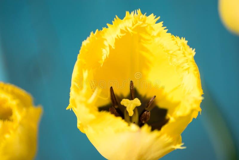 Tulipe jaune rugueuse, le printemps 2019 image libre de droits