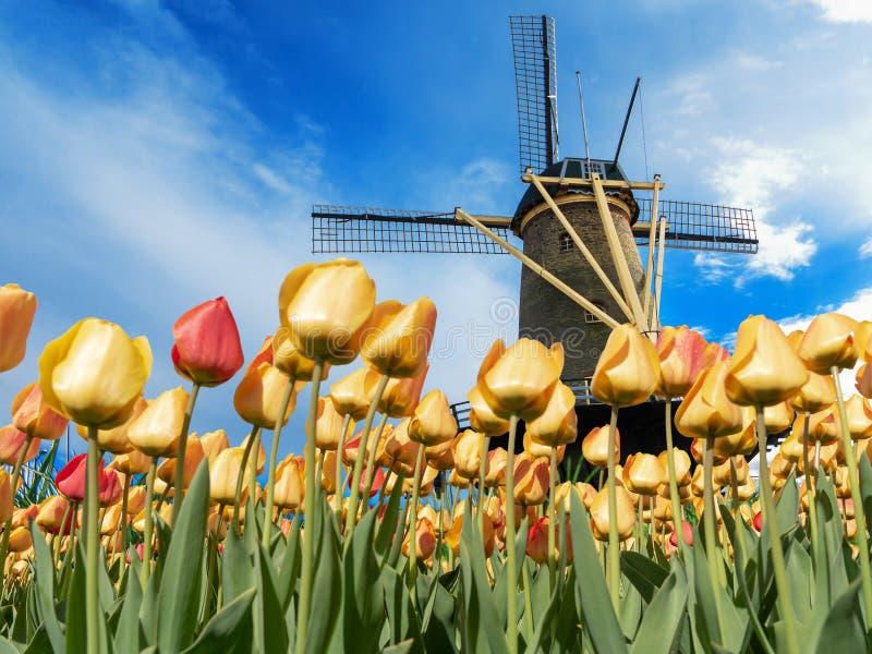 Tulipe jaune sous un moulin à vent images libres de droits
