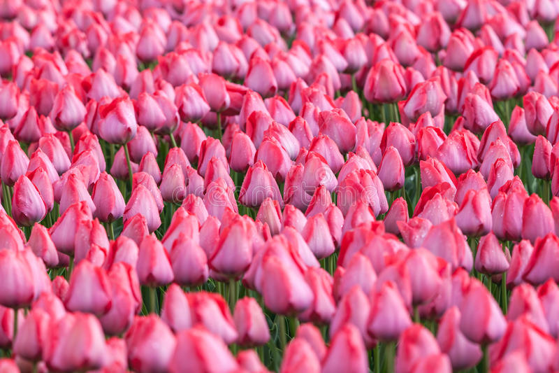 Tulipe Les belles tulipes roses fleurit au printemps le jardin, fond floral photo stock