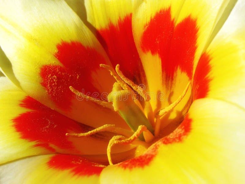 Tulipe lumineuse photographie stock
