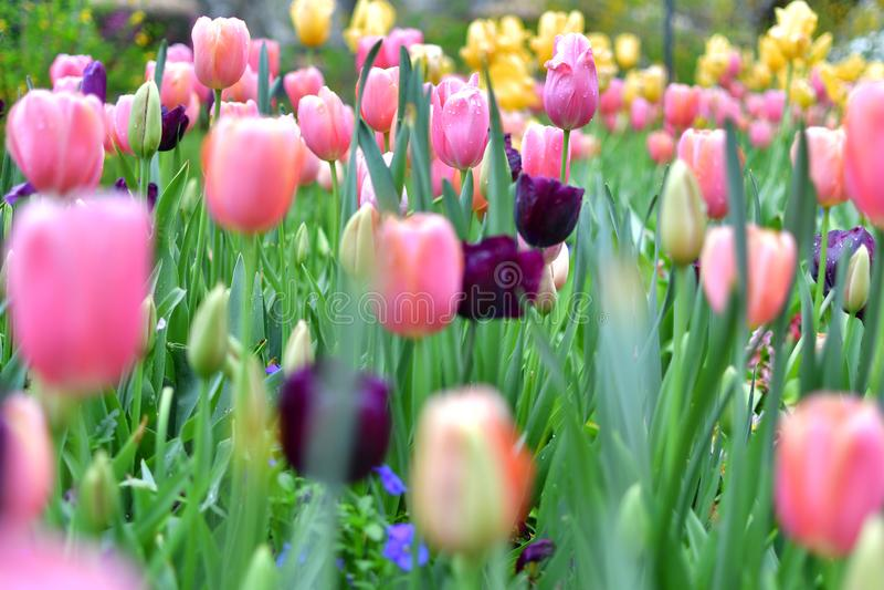 Tulipe multicolore avec le premier plan blured photos stock