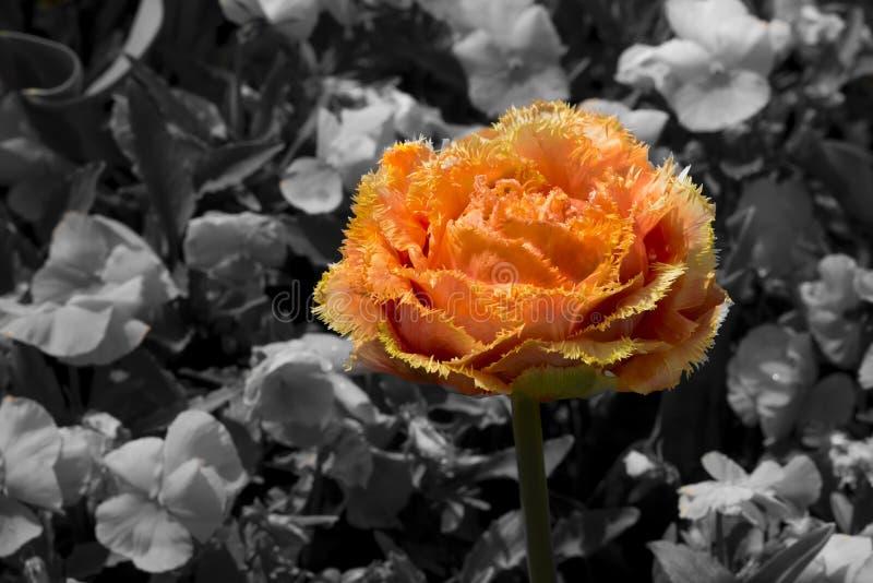 tulipe orange image stock