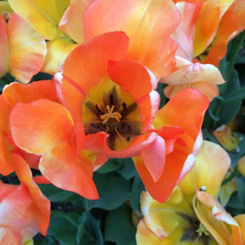 tulipe orange photos stock
