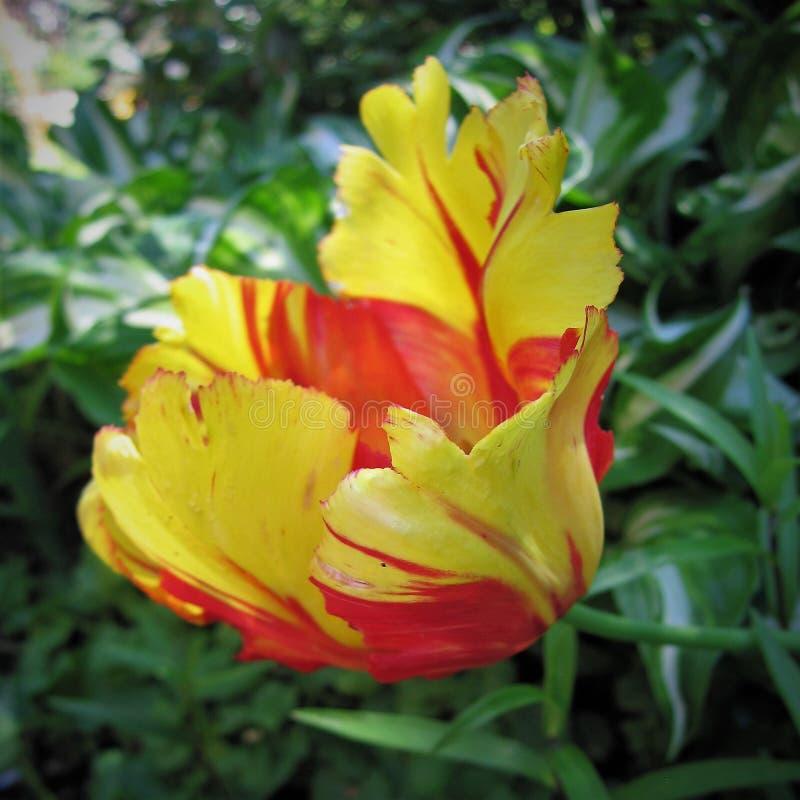 tulipe orange images libres de droits