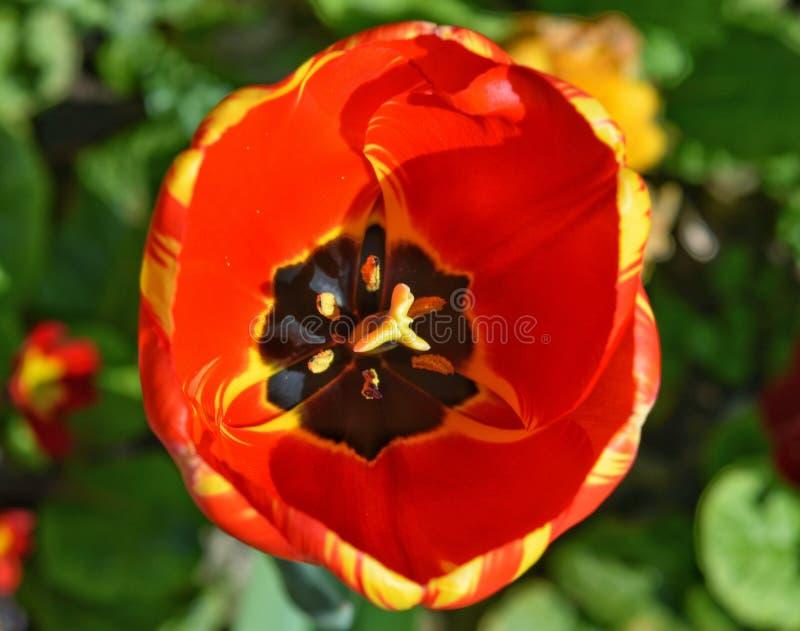 Tulipe orange et jaune photo libre de droits