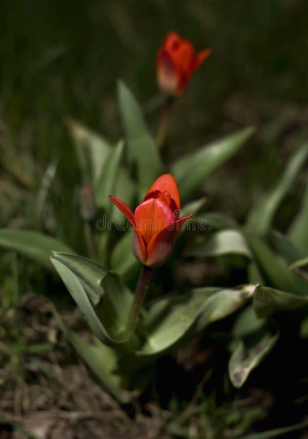 Tulipe par nuit photographie stock
