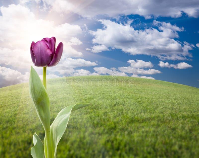 Tulipe pourprée au-dessus de zone et de ciel d'herbe photo stock