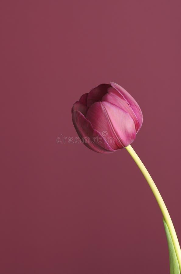 Tulipe pourprée sur le pourpre 6 photographie stock