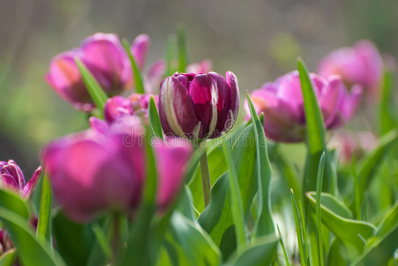 Tulipe pourpre dans le mayday images stock