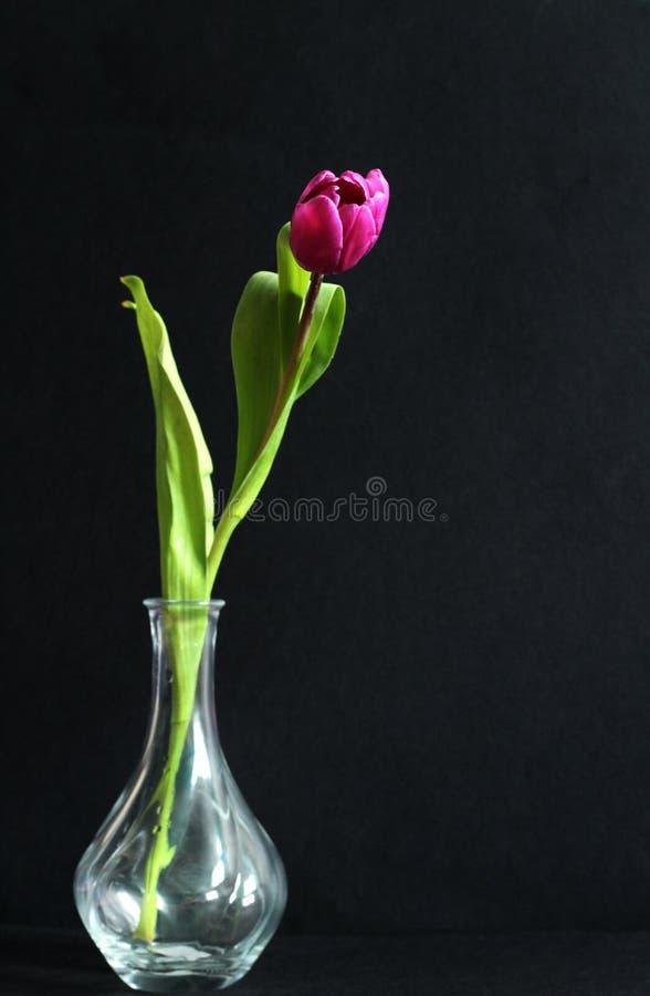Tulipe pourpre dans le vase en verre, fond noir, l'espace d'exemplaire gratuit images stock